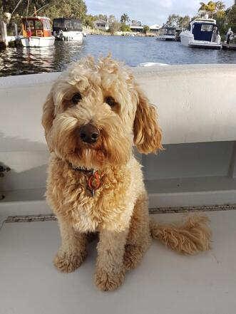 Meet The Perth Dogs And Puppies Eungai Labradoodles